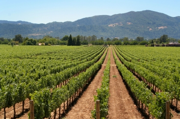 Rows of grape vines in a vineyard with mountains in the background.