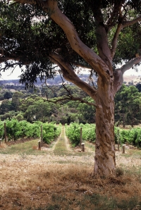 Piebald Gully vineyard 1
