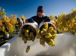 Hand harvesting Riesling, at Ashmore Vineyard for Greywacke - the new Marlborough label of Kevin Judd, Marlborough, New Zealand