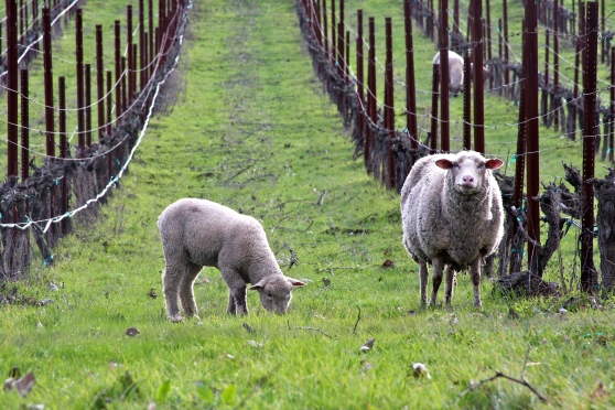 Cline Vineyards Sheep