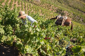 Jorge Ordonezco Vineyards