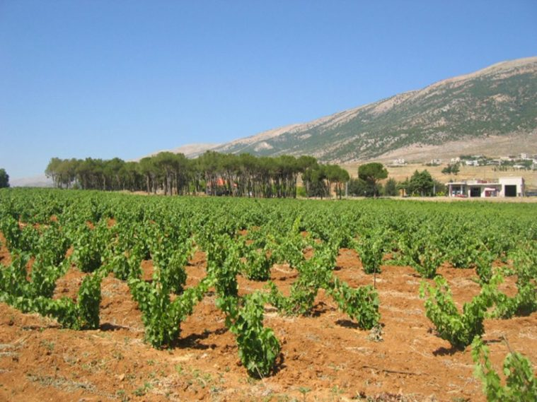 Chateau Musar Vineyards