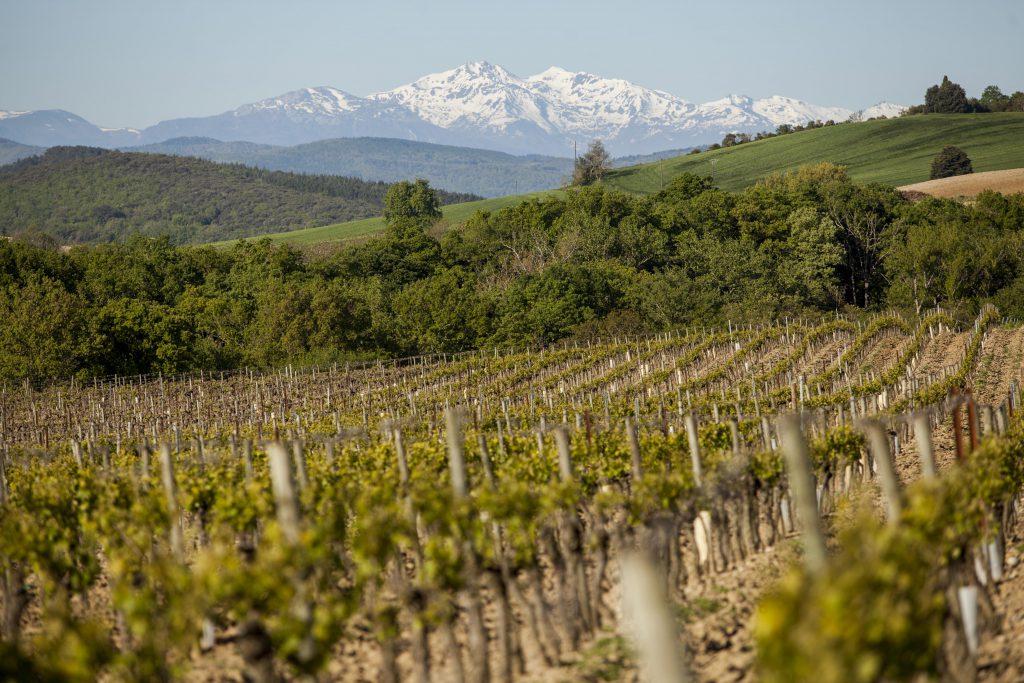 Antech Vineyard Grapes