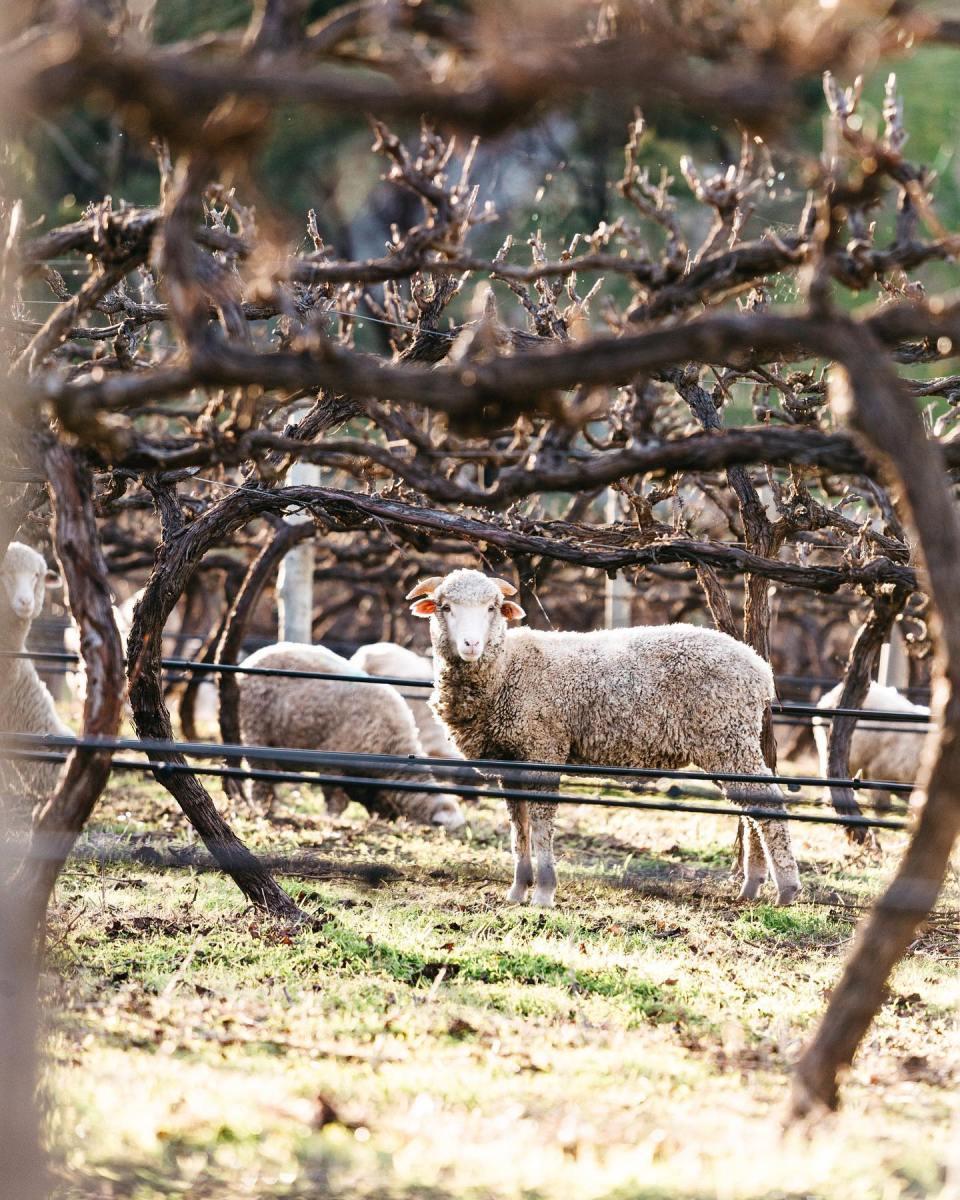 sheep-vines