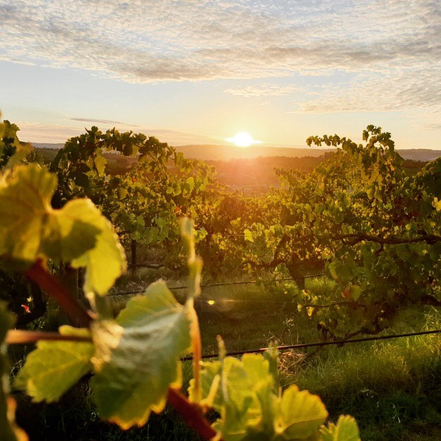 vineyardsunrise